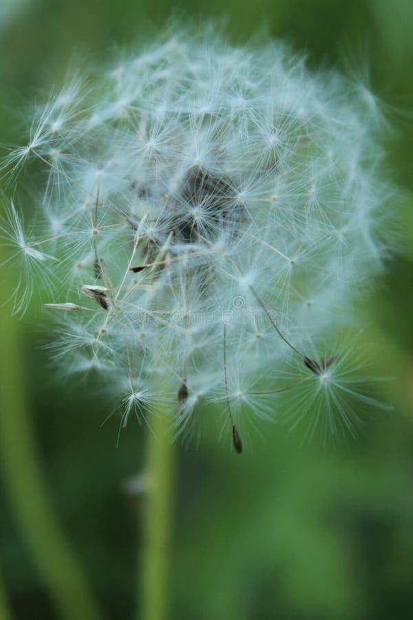 Vue haute étroite de la fleur blanche de pissenlit photos libres de droits