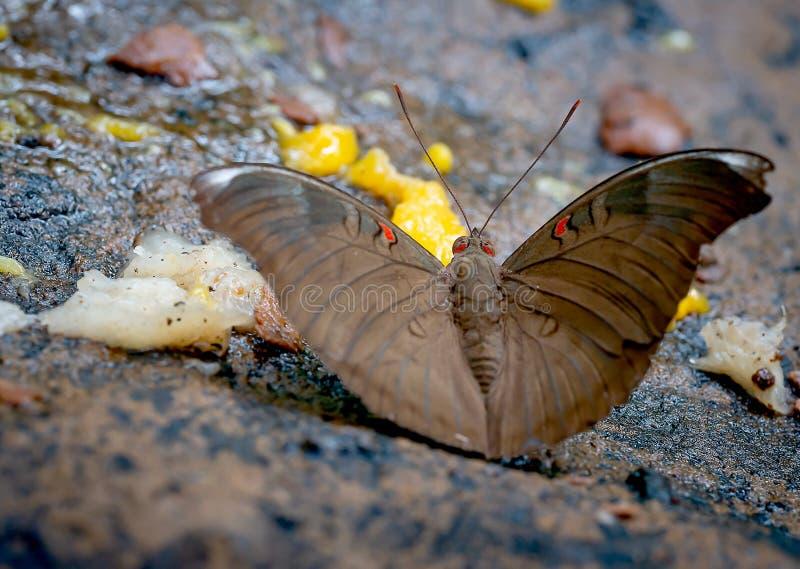 Vue haute étroite de séjour brun de papillon et manger des fruits sur la roche près de la forêt en parc national de la Thaïlande image stock