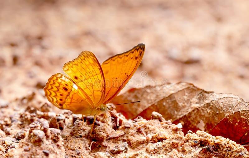 Vue haute étroite de séjour brun de papillon sur le marais de sel et prendre le minerai du sol pendant le temps de jour avec la l image stock