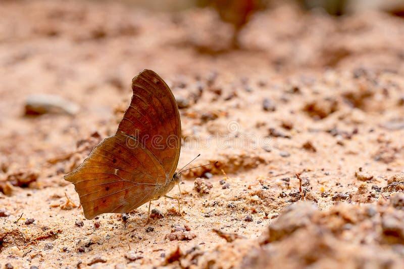 Vue haute étroite de séjour brun de papillon sur le marais de sel et prendre le minerai du sol pendant le temps de jour avec la l images stock