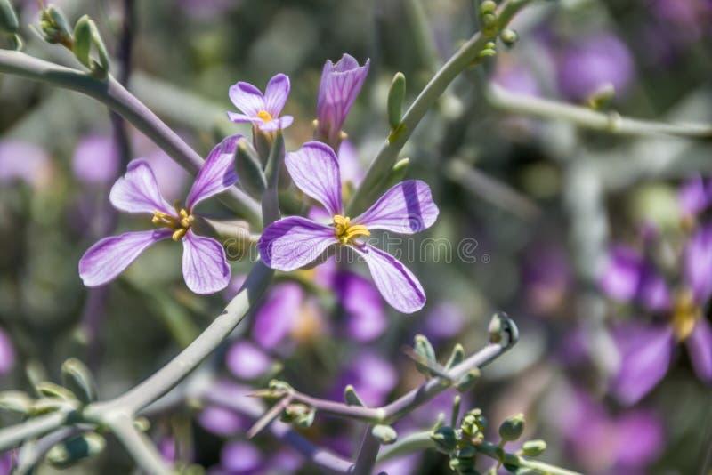 Vue haute étroite de spinosa de Zilla dans le Brassicaceae de famille - cruciferae image libre de droits