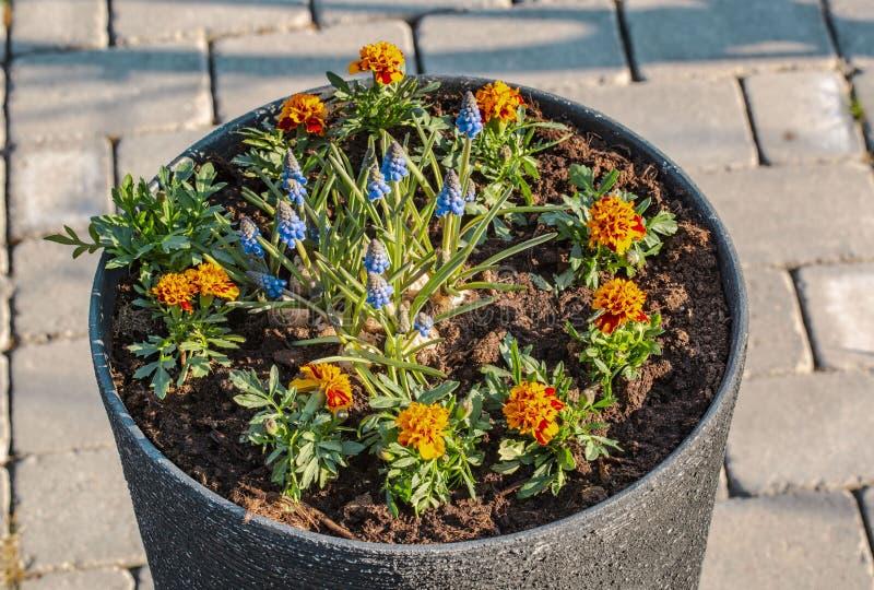 Vue haute étroite des fleurs tôt magnifiques de ressort Beaux milieux color?s de nature image libre de droits