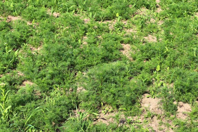 Vue haute étroite sur les champs agricoles avec les voies sèches de la terre et de tracteur photographie stock