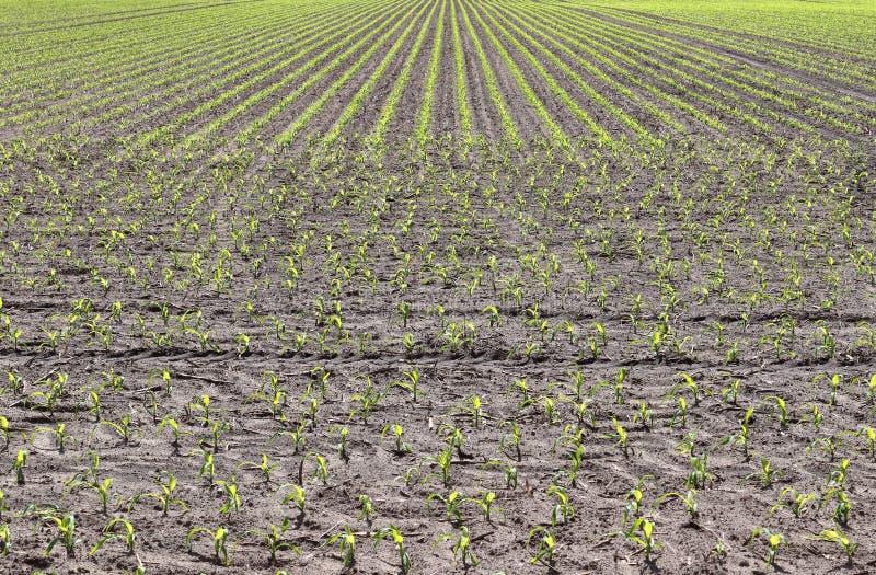 Vue haute étroite sur les champs agricoles avec les voies sèches de la terre et de tracteur images stock