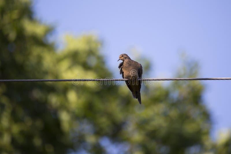 Vue horizontale d'angle faible de la jolie colombe de deuil étée perché sur le fil dans la lumière tachetée photo stock