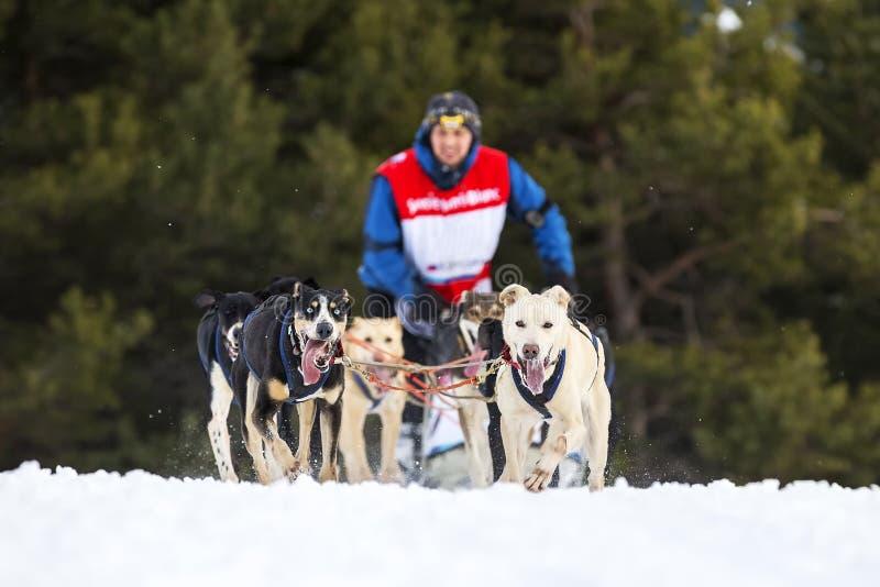 Vue horizontale de course de chien de traîneau sur la neige photos stock
