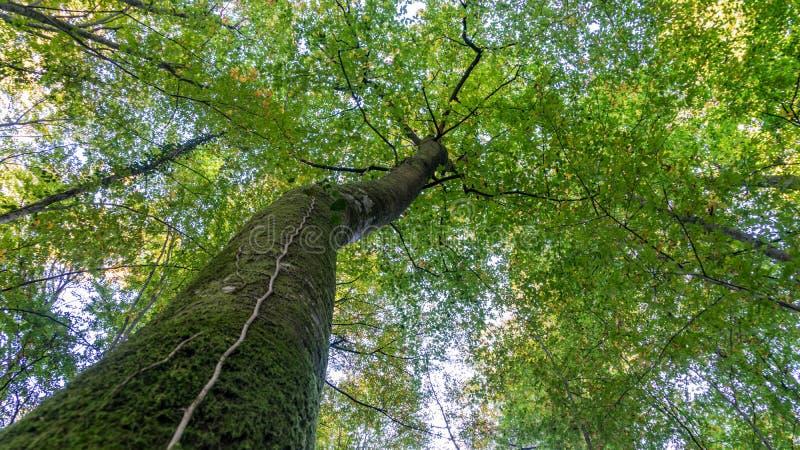 Vue inférieure à la cime d'arbre du grand arbre grand dans la forêt Sotchi, Russie image stock