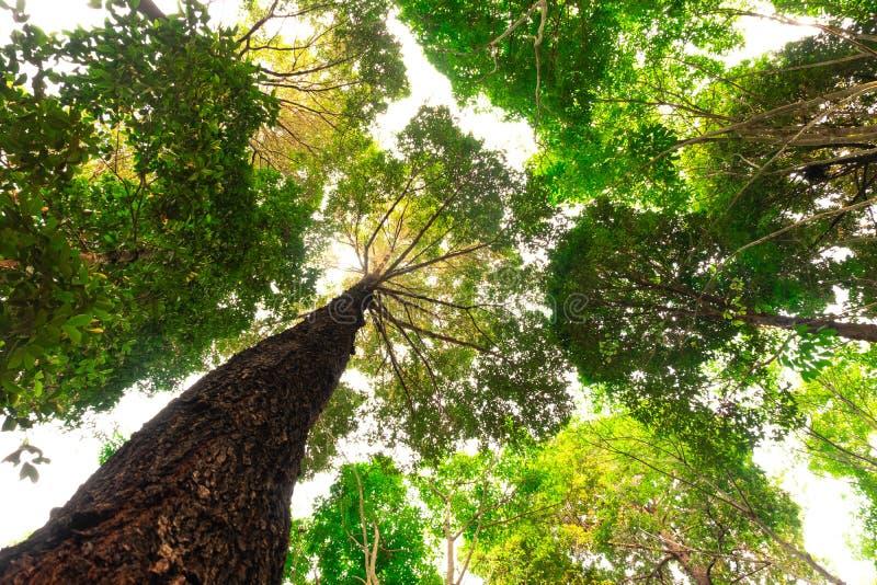 vue inférieure d'arbre de Resak Tembaga dans la jungle et éclairage de matin concept de forêt et d'environnement photo libre de droits