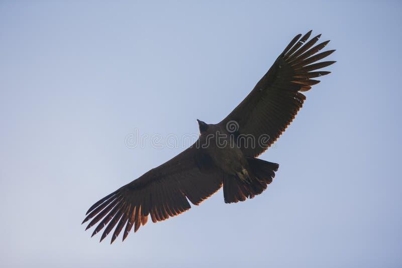 Vue inférieure de condor majestueux volant au-dessus de vous dans le canyon de colca dans chivay, Pérou images libres de droits