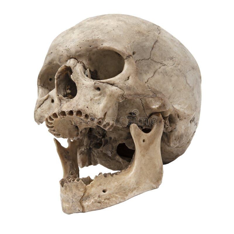 Vue inférieure de vieux crâne humain sans dents photos stock