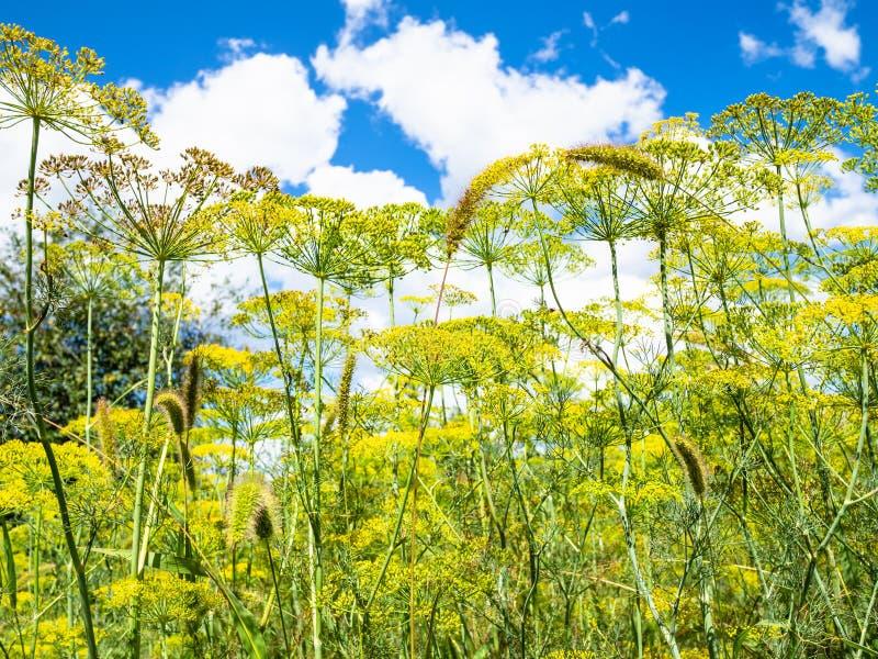 Vue inf?rieure des herbes fleurissantes d'aneth dans le jardin photos libres de droits