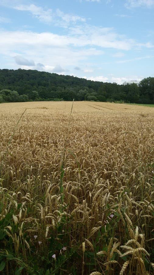Vue jaune de champ de maïs photographie stock