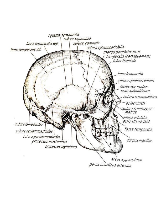 Vue latérale des noms de crâne et d'os de crâne illustration de vecteur