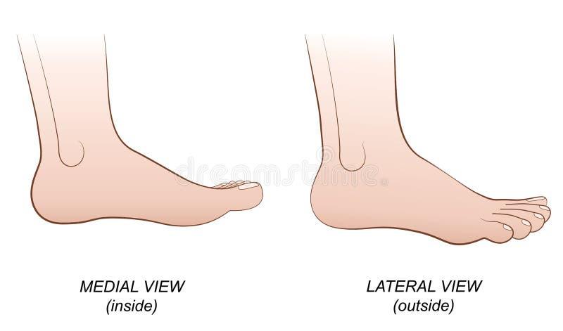 Vue médiale latérale de pied à l'intérieur de profil extérieur illustration stock
