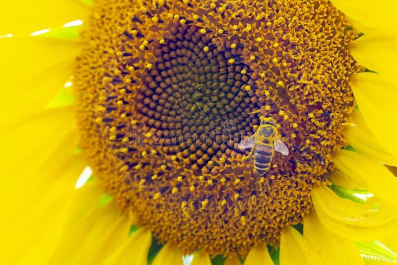Vue macro de clôture du processus de collecte du miel, pollinisation de magnifiques tournesols, abeille au centre photographie stock