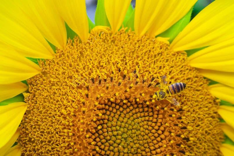 Vue macro de clôture du processus de collecte du miel, pollinisation de magnifiques tournesols, processus de fabrication du miel image stock