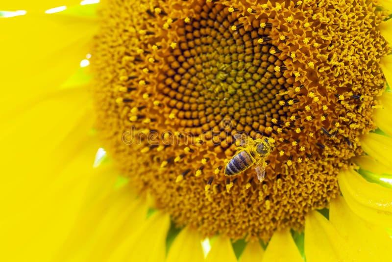 Vue macro de clôture du processus de collecte du miel, pollinisation de magnifiques tournesols, image d'abeille, travail de l'abe photo stock