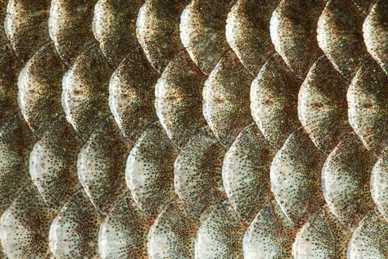 Vue macro de la texture de la peau à l'échelle du poisson Couleur d'or de la photo de motif géométrique Carpe carassien croûte cr photos stock