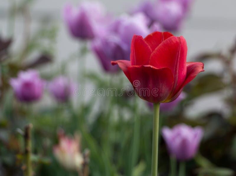 Vue naturelle des fleurs de tulipe fleurissant dans le jardin avec l'herbe verte Nature, ressort photo stock