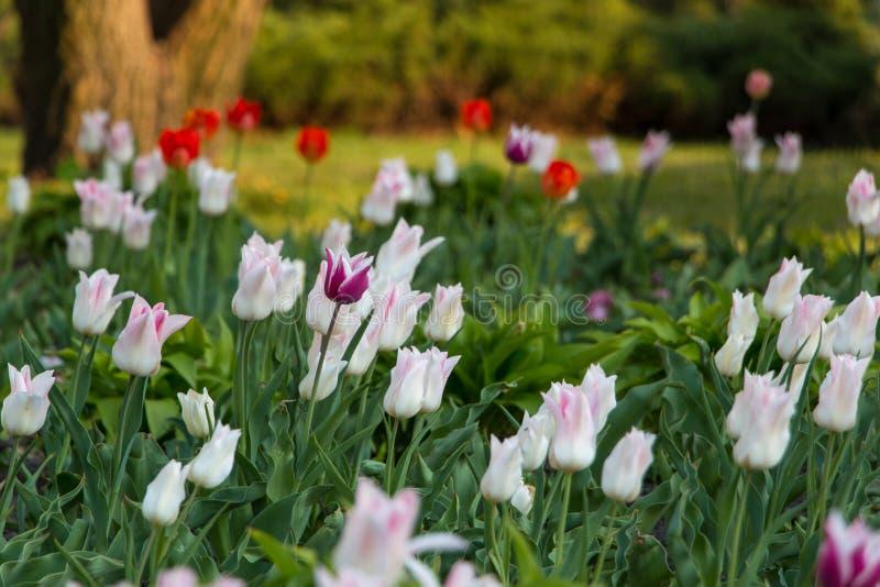 Vue naturelle des fleurs de tulipe fleurissant dans le jardin avec l'herbe verte Nature, ressort photo libre de droits