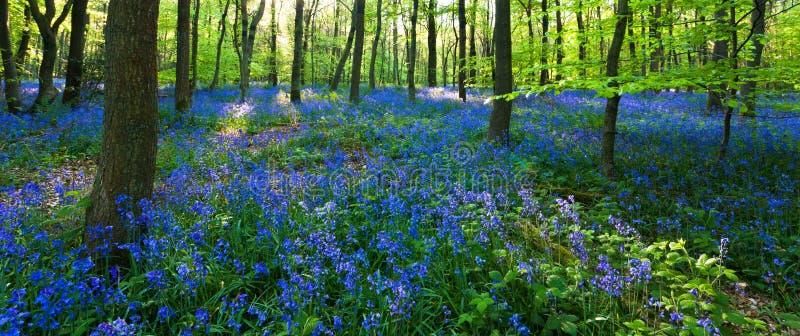 Vue panoramique d'un bois de bluebell photos libres de droits