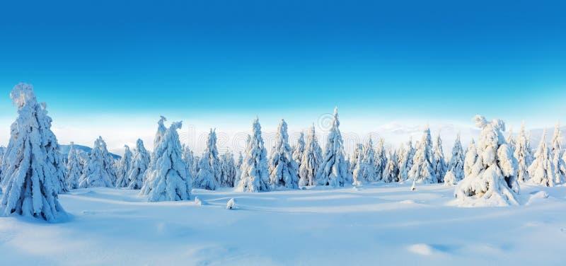 Vue panoramique de forêt impeccable neigeuse d'arbre d'hiver photos stock