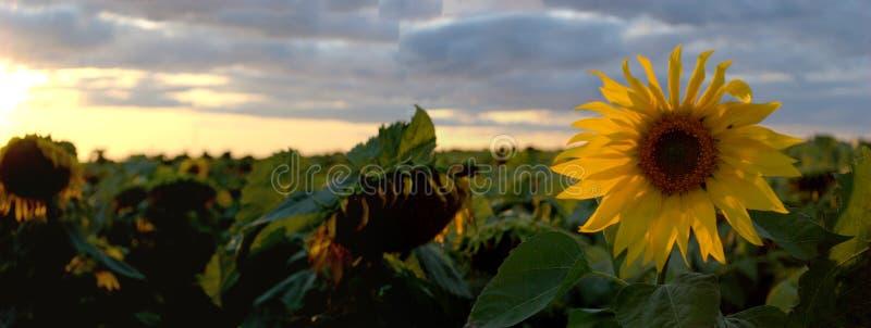 Vue panoramique de la floraison et des tournesols mûrs sur un fond brouillé de coucher du soleil coloré et de nuages d'été image stock