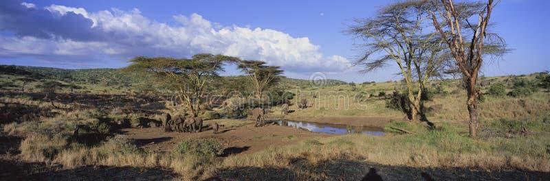 Vue panoramique des éléphants africains à l'abreuvoir dans la lumière d'après-midi dans la garde de Lewa, Kenya, Afrique photo libre de droits