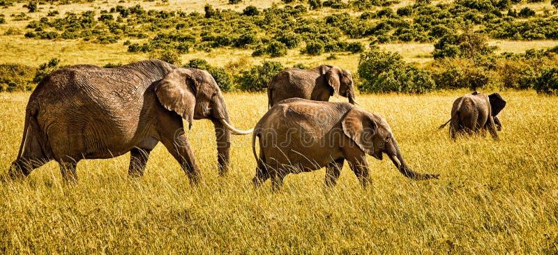 Vue panoramique par groupe de quatre éléphants africains marchant sur la savane photos stock