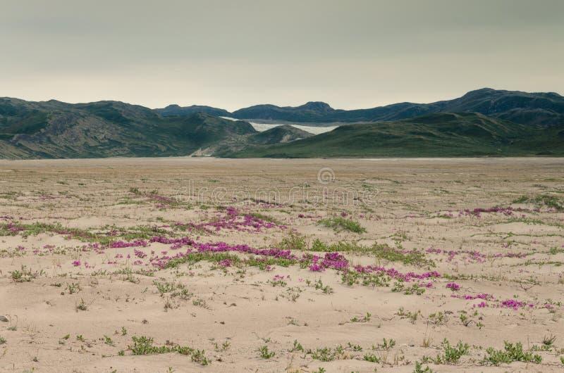 Vue par la vallée de désert de Sandflugtdalen vers les montagnes et la calotte glaciaire Greenlandic, fleurs roses au milieu de images stock
