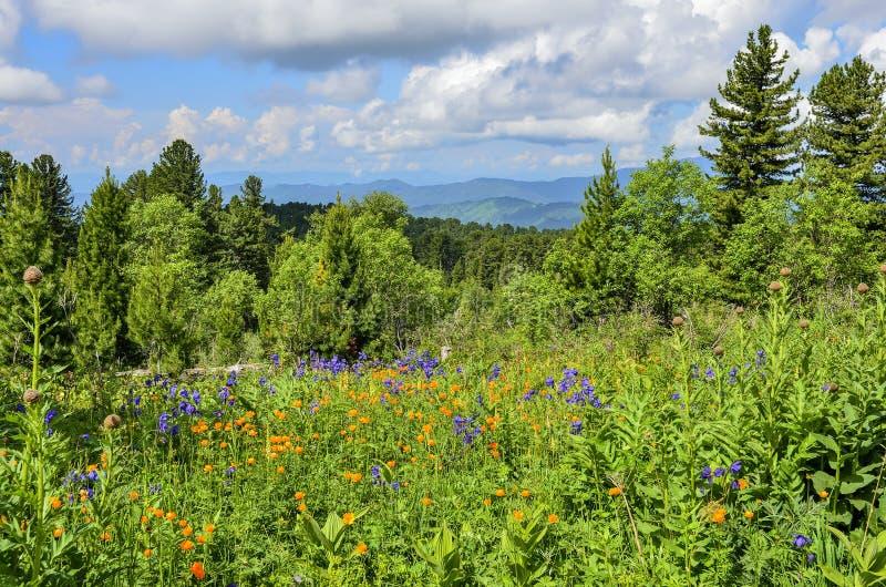 Vue pittoresque de pr? alpin de floraison en montagnes d'Altai, Russie photographie stock libre de droits