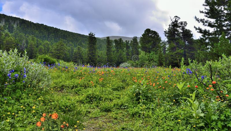 Vue pittoresque de pr? alpin de floraison en vall?e de montagne image stock