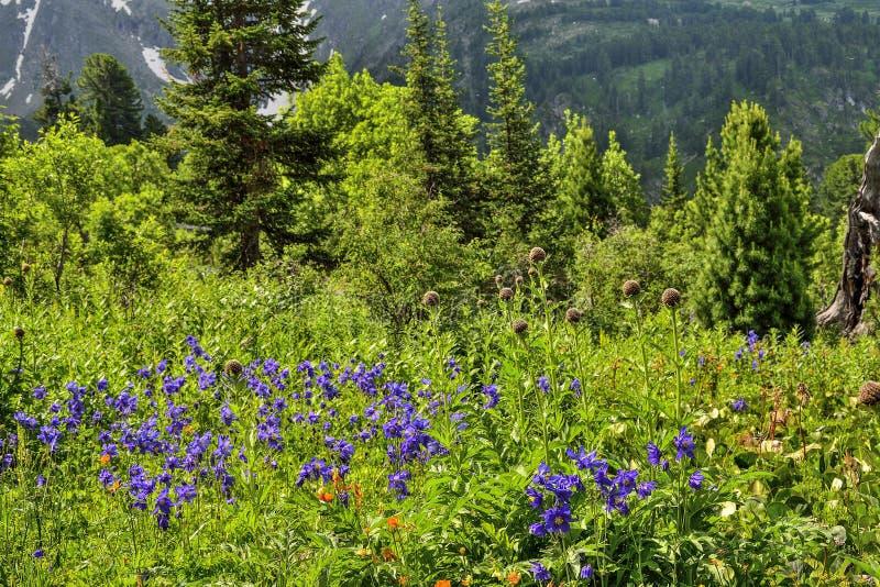 Vue pittoresque des glaciers alpins de floraison de pré et de montagne images libres de droits