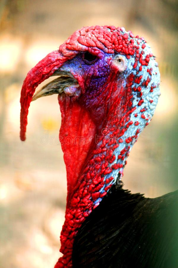 Vue principale de plan rapproché de la Turquie sauvage images libres de droits
