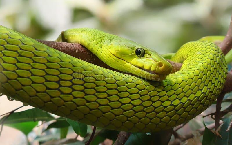 Vue rapprochée d'une Mamba verte orientale image stock