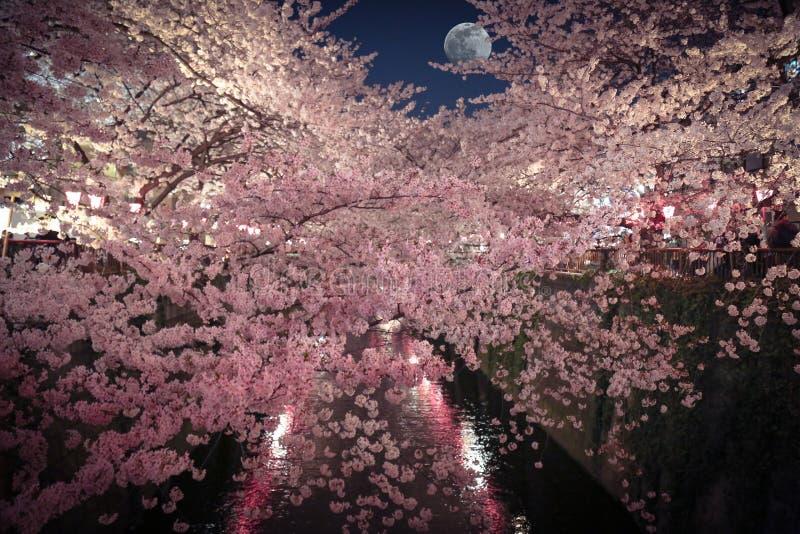 Vue romantique des fleurs de cerisier et du clair de lune photos stock