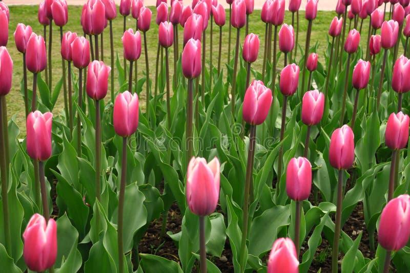 Vue rose de floraison de tulipes de ressort Jardin de floraison de tulipes au printemps Fleurs roses de floraison de tulipe dans  photos stock