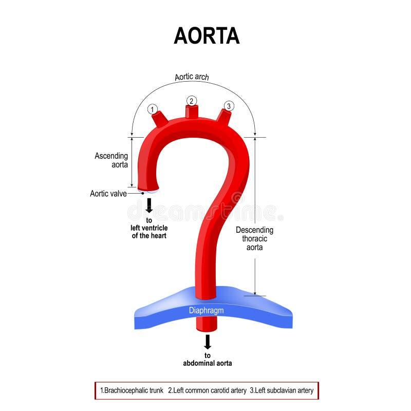 Vue schématique des segments d'aorte illustration de vecteur