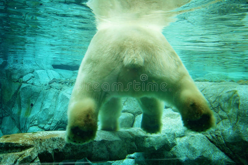 Vue sous-marine d'ours blanc photo stock