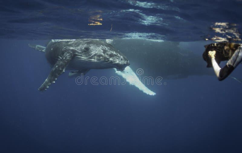 Vue sous-marine d'un veau de baleine de bosse comme il répond au souffle image stock