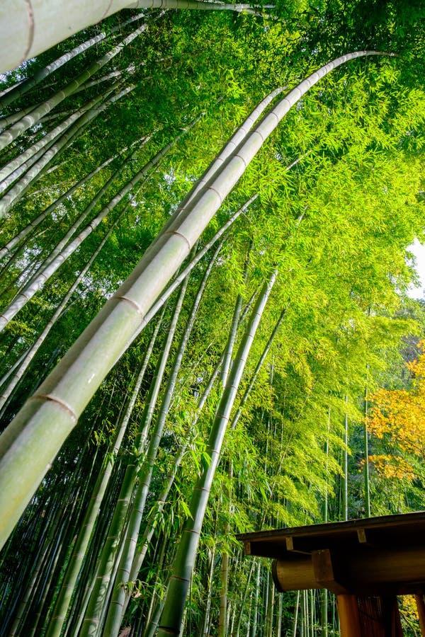 Vue spéciale d'une forêt en bambou au Japon image libre de droits