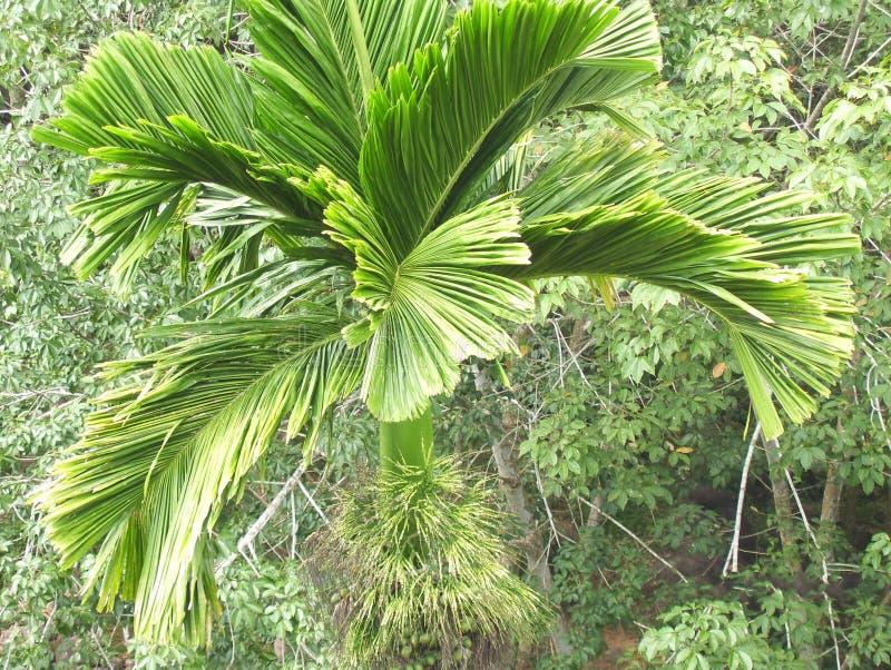 Vue supérieure d'arbre d'écrou d'arec avec de grandes feuilles vertes images stock