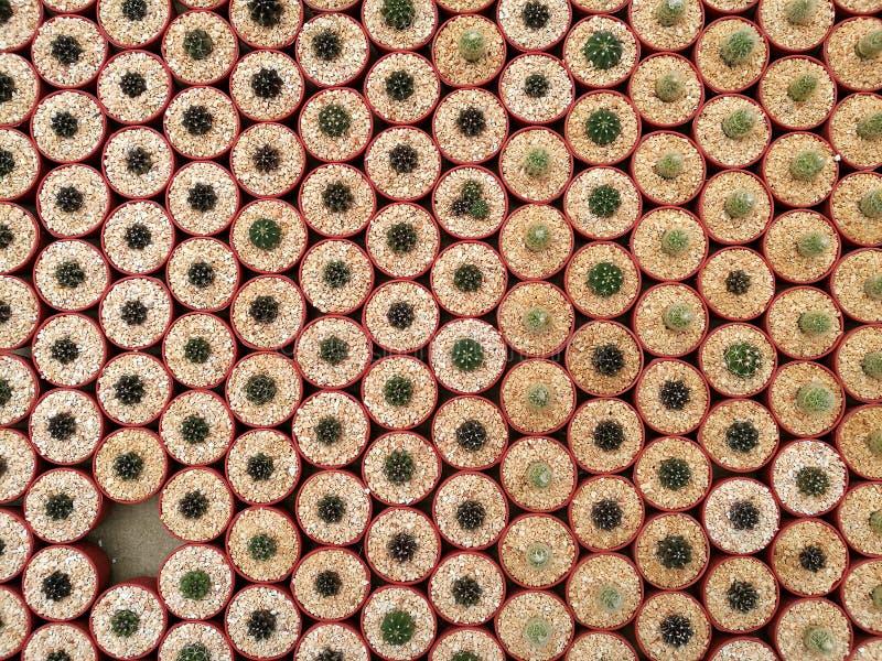 Vue supérieure d'usine de Mini Cactus sur le pot rouge à la ferme de cactus photos libres de droits