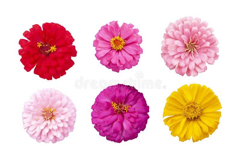 Vue supérieure de belle fleur colorée de zinnia d'isolement sur le fond blanc image stock