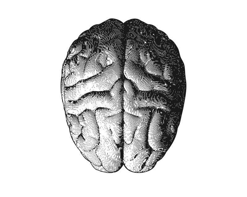 Vue supérieure de cerveau de gravure sur la BG blanche illustration libre de droits