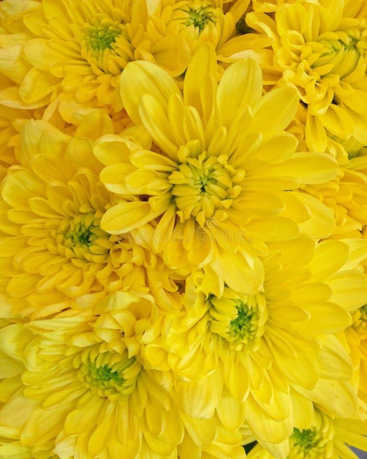 Vue supérieure de chrysanthèmes jaunes colorés, fond sans couture naturel image stock