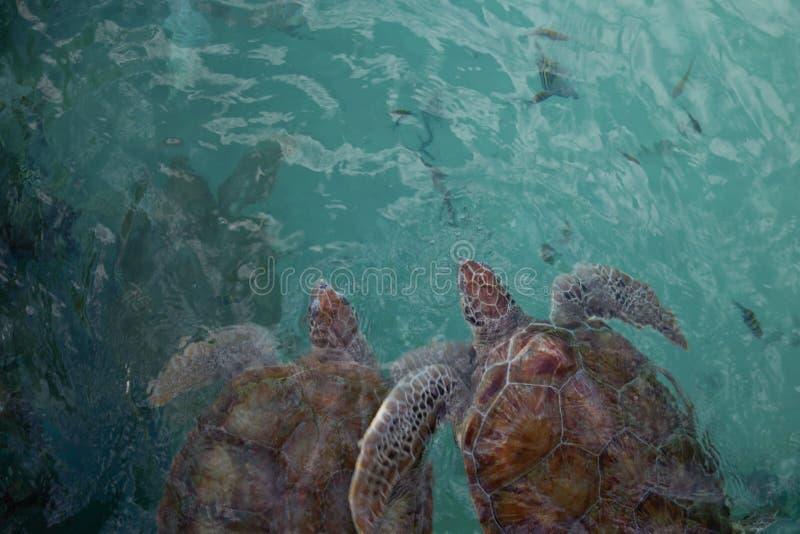 Vue sup?rieure de deux tortues de mer brun-rouge?tre nageant comme paire sous l'eau image stock