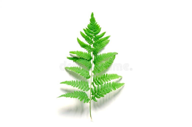 Vue supérieure de feuille tropicale verte de fougère sur le fond blanc Configuration plate Concept minimal d'?t? image libre de droits