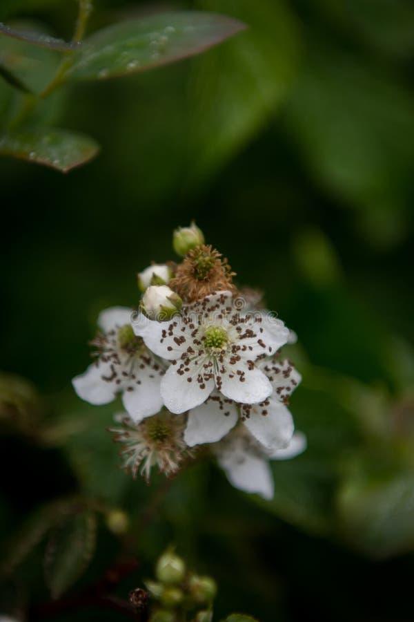 Vue supérieure de fleur de Blackberry photos stock