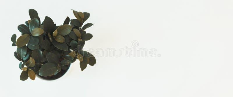 Vue supérieure de ginseng de microcarpa de ficus de plante d'intérieur sur la table blanche image stock